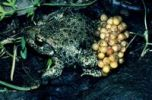 Thumbnail Common midwife toad (Alytes obstetricans), male with strings of eggs on the abdomen