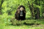 Thumbnail Muskox (Ovibos moschatus) in a birch forest