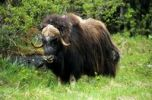 Thumbnail Muskox (Ovibos moschatus) in a meadow at the edge of a forest