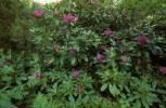 Thumbnail Rhododendron baeticum Rhododendron ponticum baeticum Spain