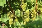 Thumbnail grapes