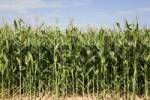 Thumbnail a maize field shy of its harvesting