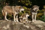 Thumbnail North American Wolves (Canis lupus), Bad Mergentheim outdoor enclosure, Baden-Wuerttemberg, Germany, Europe