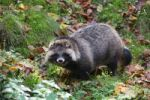 Thumbnail Raccoon dog (Nyctereutes procyonoides), Bad Mergentheim outdoor enclosure, Baden-Wuerttemberg, Germany, Europe