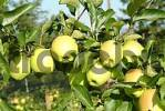 Thumbnail apples on tree
