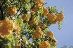 Thumbnail Rowan (Sorbus aucuparia)