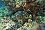 Thumbnail Loggerhead Sea Turtle Caretta Caretta at the Vakarufalhi-Ari atoll, the Maldives, Indian Ocean
