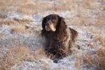 Thumbnail German Spaniel or Deutscher Wachtelhund, hunting dog