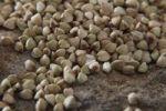 Thumbnail Buckwheat (Fagopyrum esculentum) on a slab