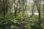 Thumbnail Alluvial forest, willows and butterbur, Isar wetlands, Geretsried, Bavaria, Germany, Europe