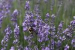 Thumbnail Lavender (Lavandula angustifolia), garden plant