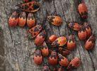 Thumbnail Firebugs (Pyrrhocoris apterus)
