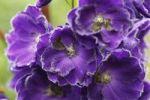 Thumbnail Larkspur (Delphinium sp), blossoms, garden plant