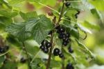 Thumbnail Black Currant (Ribes nigrum), fruits