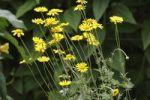 Thumbnail Alpine Marguerite Daisy (Anthemis marschalliana), garden plant