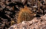 Thumbnail Cactus in the Andes Mountains, Chile, South America