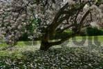 Thumbnail flowers at a Magnolia tree Magnolia Magnoliaceae