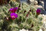Thumbnail Flowering Cactus (Echinocereus cinerascens)