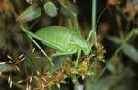 Thumbnail Krauss's Bush-cricket (Isophya kraussi), female