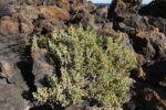 Thumbnail Canarian Bean-Caper (Zygophyllum fontanesii), Lanzarote, Canary Islands, Spain, Europe