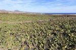 Thumbnail Plantation of Prickly Pear (Opuntia ficus-indica), Lanzarote, Canary Islands, Spain, Europe