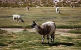Thumbnail Llamas (Llama glama) in the high mountains, Chile, South America