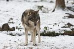 Thumbnail Wolf (Canis lupus), Weilburg zoo, Hesse, Germany, Europe