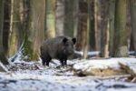 Thumbnail Wild boar (Sus scrofa), Weilburg zoo, Hesse, Germany, Europe