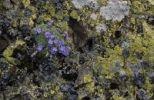 Thumbnail Eritrichium nanum (Eritrichium nanum) and map lichen (Rhizocarpon geographicum) on rock ledge