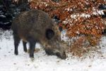 Thumbnail Female wild boar (Sus scrofa), sow foraging in winter in a snow covered forest