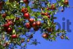 Thumbnail Red apples on a tree and blue sky