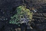 Thumbnail Balsam Spurge (Euphorbia balsamifera) on lava rocks, Lanzarote, Canary Islands, Spain, Europe