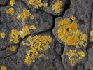 Thumbnail Yellow-orange coloured lichen on lava rocks, Lanzarote, Canary Islands, Spain, Europe