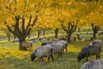Thumbnail Autumn scene with sheep, Black Forest, Baden-Wuerttemberg, Germany, Europe