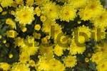Thumbnail Yellow flowers Chrystanthemum