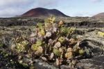 Thumbnail Erect Prickly Pear (Opuntia dillenii), Caldera Colorada volcano, Lanzarote, Canary Islands, Spain, Europe