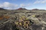 Thumbnail Erect Prickly Pear (Opuntia dillenii), Caldera Colorada volcano, lava field with lichens, Lanzarote, Canary Islands, Spain, Europe