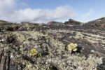Thumbnail Lava rocks with lichens and Aeonium, Lanzarote, Canary Islands, Spain, Europe