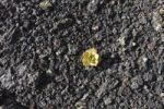 Thumbnail Aeonium on lava rock, Lanzarote, Canary Islands, Spain, Europe