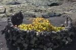 Thumbnail Grapevine surrounded by a moon-shaped stone wall, La Geria, Lanzarote, Canary Islands, Spain, Europe