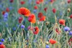 Thumbnail Poppies (Papaver), cornflowers (Centaurea cyanus) in a cornfield