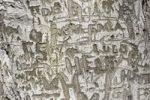 Thumbnail Words, letters carved into tree bark