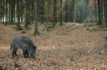 Thumbnail Wild boar (Sus scrofa), tusker in winter coat, foraging in the mixed forest, Baden-Wuerttemberg, Germany, Europe