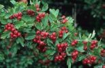 Thumbnail Common Hawthorn (Crataegus monogyna) fruit