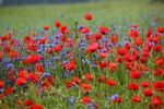 Thumbnail Red corn poppies (Papaver rhoeas), blue cornflowers (Centaurea cyanus)