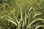 Thumbnail Barley ears (Hordeum vulgare)