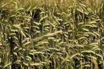 Thumbnail Barley field (Hordeum vulgare)