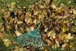 Thumbnail autumn foliage and rake, gardening in autumn