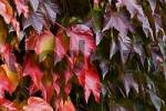 Thumbnail Colored virginia creeper Parthenocissus tricuspidata
