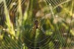 Thumbnail Wasp Spider (Argiope bruennichi) in a spider web, Bavaria, Germany